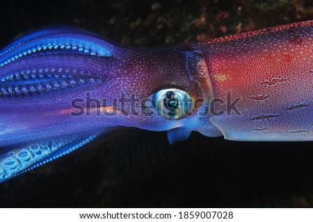 Atlantic ocean squid macro photo