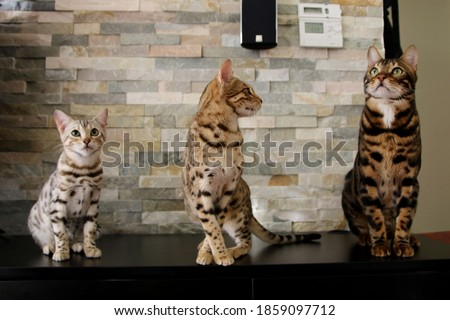 Amazing bengal cats in living room Royalty-Free Stock Photo #1859097712