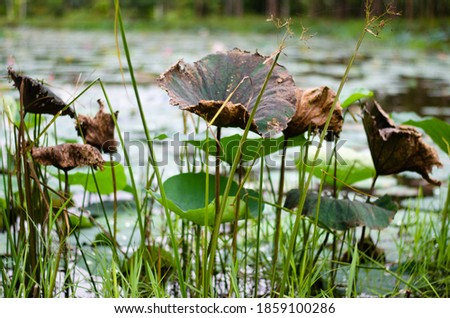 The picture of the dry lotus leaves in the lotus pond.