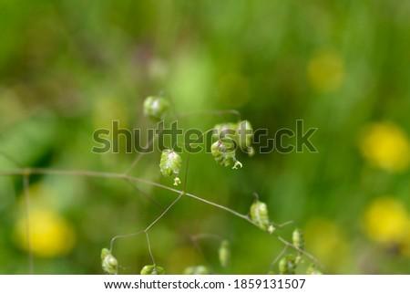 Common quaking grass - Latin name - Briza media Royalty-Free Stock Photo #1859131507