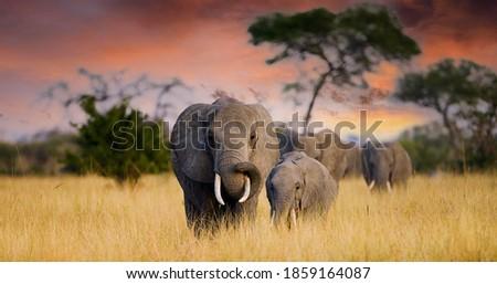 A herd of wild elephants walk through the savanna of Tarangire National Park in Tanzania, East Africa Royalty-Free Stock Photo #1859164087