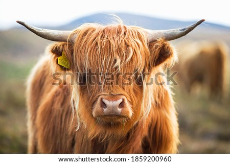 Close up of a highland cow on the Scottish moor Royalty-Free Stock Photo #1859200960