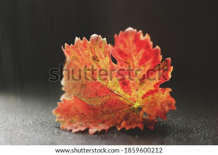 yellow and red grape leaf in the rain. fall or autumn. a photo