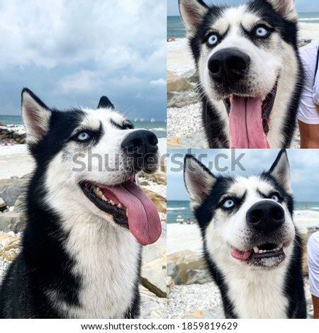 A funny picture of a husky