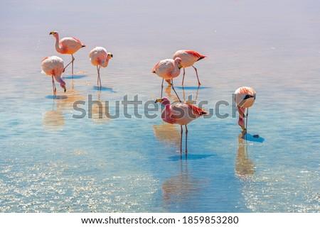 James flamingo (Phoenicoparrus jamesi) in Laguna Colorada (Red Lagoon), Eduardo Avaroa Andean Fauna nature reserve, Bolivia. Royalty-Free Stock Photo #1859853280