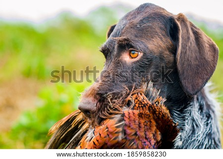 german wire hair hunting dog with pheasant Royalty-Free Stock Photo #1859858230
