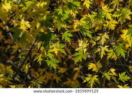 Maple Acer saccharinum with golden and green leaves against sun. Bright foliage on Acer saccharinum in sunny autumn day. Nature concept for any design. Soft selective focus.  #1859899129