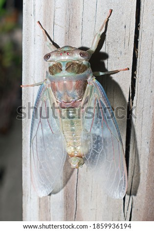 Freshly emerged cicada (Magicicada spp.) in florida showing 3 red simple eyes, two compound eyes, light blue, pink and green colors, red veins on wings, on cracked wood, top view