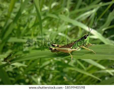 picture of green little grasshopper sitting on a leaf.