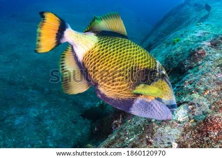 A large Titan Triggerfish feeding on a dark tropical coral reef Royalty-Free Stock Photo #1860120970