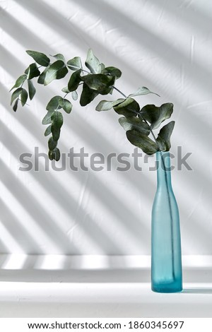 nature, flora and herbal concept - eucalyptus populus branch in blue glass vase on white table Royalty-Free Stock Photo #1860345697