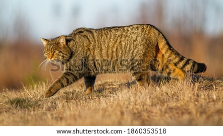 European wildcat, felis silvestris, walking on meadow in autumn nature. Stripped predator hunting on dry grass in fall. Brown mammal sneaking up on field. Royalty-Free Stock Photo #1860353518