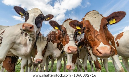 colored cows under blue clouded sky looking into the camera Royalty-Free Stock Photo #1860392716