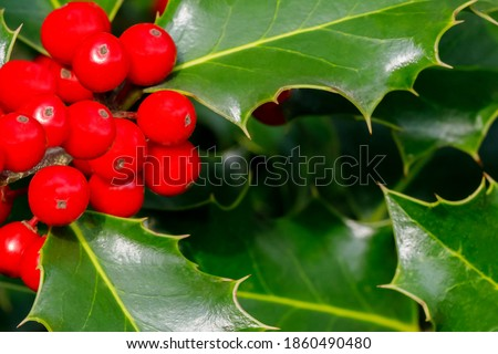 Evergreen Holly Bough. Christmas holly red berries with green leaves and fir branches, closeup. Ilex aquifolium Holly green foliage with matures red berries.  #1860490480