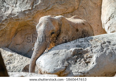 baby elephant with small tusks camouflaged in large rocks Royalty-Free Stock Photo #1860647653