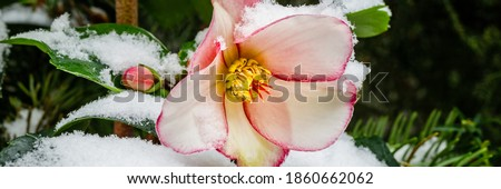 Christmas rose is Best winter plant. Helleborus Rose Flower with snow in garden, closeup, macro.  Helleborus Golden Collection flowers. Winter-flowering evergreen plant for use in pots or in garden Royalty-Free Stock Photo #1860662062