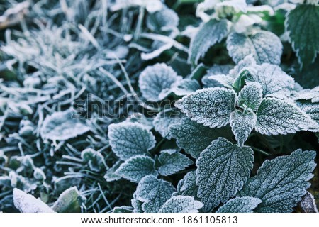 Photo of nettle mint leaves covered with frost. Close up partial focus. High quality photo Royalty-Free Stock Photo #1861105813