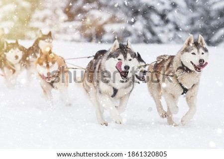 Sled dog-racing with Alaskan malamute and husky dogs. Snow, winter, competition, race concept.