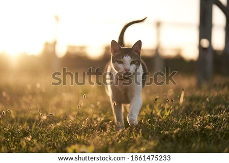 Prowling cat at sunset - summer vibes - country cat - feline gaze Royalty-Free Stock Photo #1861475233