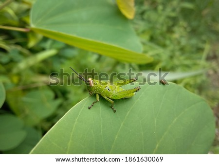 picture of light green grasshopper sitting on a leaf.