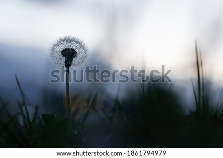 Dandelion in field out of focus bokeh touching lonely alone serenity lost blurry vision abstract meadow mountain background flying death decay birth transformation meditation light and shadow Royalty-Free Stock Photo #1861794979