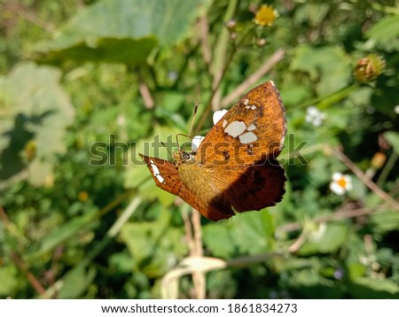 picture of pedesta masuriensis or white spotted mussoorie bush bob butterfly moth on a little flower.