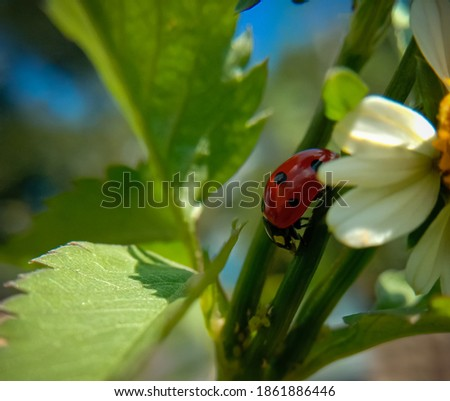 picture of seven spotted ladybug or coccinella septempunctata.