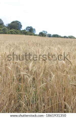 Field of wheat, Harwest of bread wheat , Triticum aestivum, Triticum monococcum #1861931350