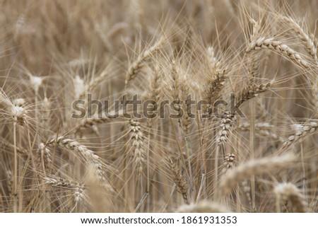 Field of wheat, Harwest of bread wheat , Triticum aestivum, Triticum monococcum #1861931353