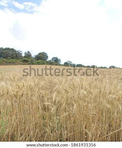Field of wheat, Harwest of bread wheat , Triticum aestivum, Triticum monococcum #1861931356
