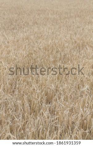 Field of wheat, Harwest of bread wheat , Triticum aestivum, Triticum monococcum #1861931359