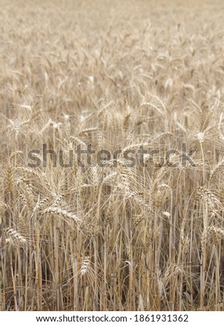 Field of wheat, Harwest of bread wheat , Triticum aestivum, Triticum monococcum #1861931362
