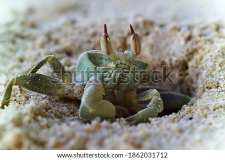 The crab crawls out of its hole and hides in the sand at the slightest danger. Close-up photos.
