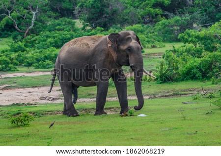 Asian wild elephant call tusker gamunu with single tusker in yala national park Sri Lanka south Asia Royalty-Free Stock Photo #1862068219