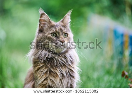 Maine coon cat portrait in garden. Adult cute tortoiseshell cat, park grass background. Big feline breed for home love and affection. Royalty-Free Stock Photo #1862113882