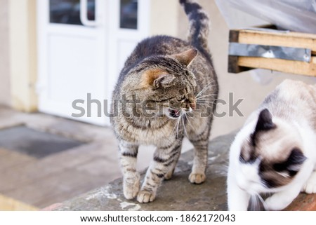 Cat hisses at another cat close up Royalty-Free Stock Photo #1862172043