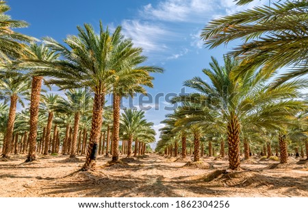 Plantation of date palms intended for healthy food production. Dates production is a rapidly developing agriculture industry in desert areas of the Middle East Royalty-Free Stock Photo #1862304256