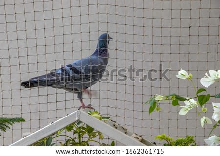A pigeon outside a pigeon protection net outside an apartment at Pune India. Royalty-Free Stock Photo #1862361715