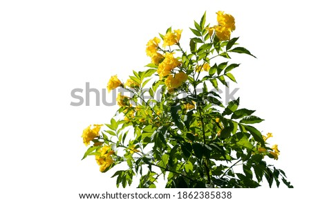 Bush yellow flower with on isolated white background with copy space and clipping path. Royalty-Free Stock Photo #1862385838