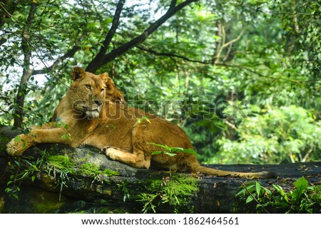 Picture of lions while sitting on the rock