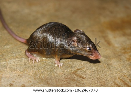 A picture of rat on floor in the house