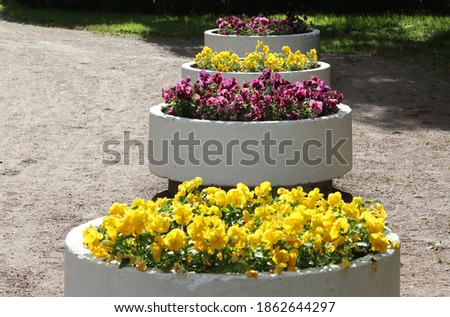 bright yellow and purple pansy flowers in round concrete vases