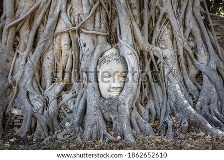 Close up picture of Buddha's head covered by roots of a banyan tree. Big head made of white stone, frontal picture. Temple and site Wat Maha That, Ayutthaya, Thailand, Asia. UNESCO World heritage site