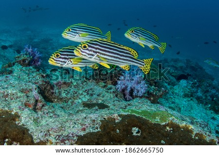 An image of Oriental Sweetlips with the unusual bonus of a White Tip Reef Shark swimming in the background unknown to me until I viewed the image after the dive! Similan Islands, Thailand.