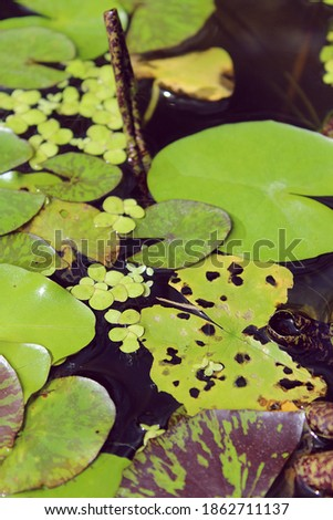 water lilies and greenery on the water, Thailand selective focus