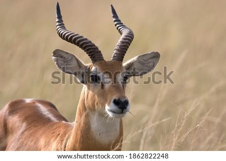 Ugandan kob antelope free ranging the African savanna Royalty-Free Stock Photo #1862822248
