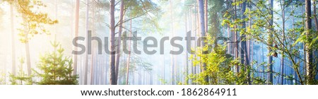 Panoramic view of the mysterious evergreen forest in a fog. Ancient pine, spruce, fir tree silhouettes close-up. Atmospheric landscape. Sun rays, golden light. Nature, ecology, fantasy, fairytale Royalty-Free Stock Photo #1862864911