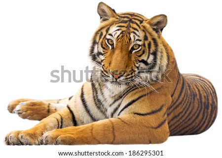 Beautiful tiger - isolated on white background Royalty-Free Stock Photo #186295301