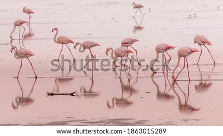 flamingos in small groups in the lagoon of Walvis Bay, Namibia Royalty-Free Stock Photo #1863015289