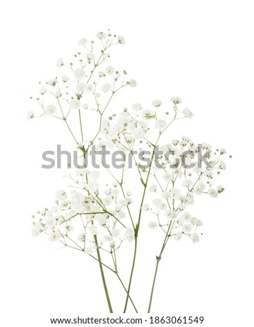 Few twigs with small white flowers of Gypsophila (Baby's-breath)  isolated on white background. Royalty-Free Stock Photo #1863061549